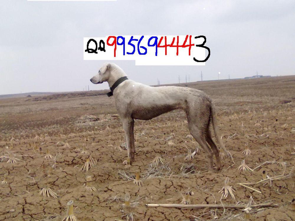 关于蒙古细犬图片